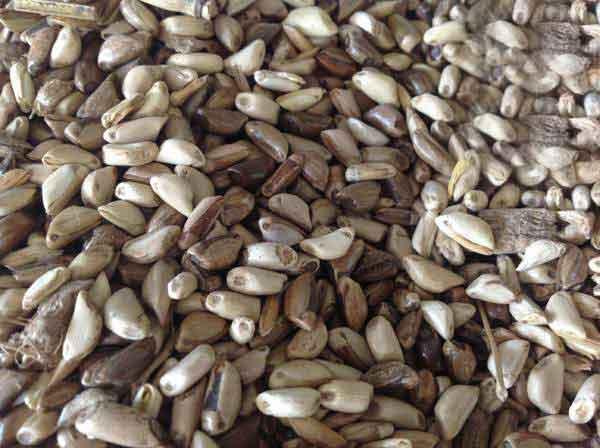 墨西哥玉米草种子图片