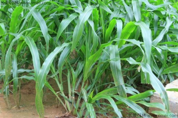 墨西哥玉米草种子发芽出苗图片
