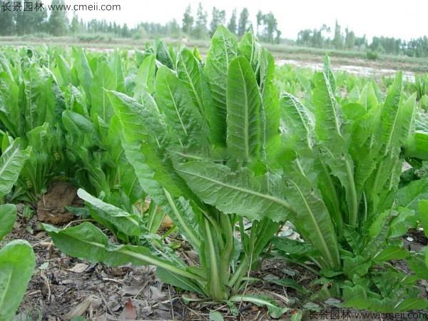 菊苣种子发芽出苗图片