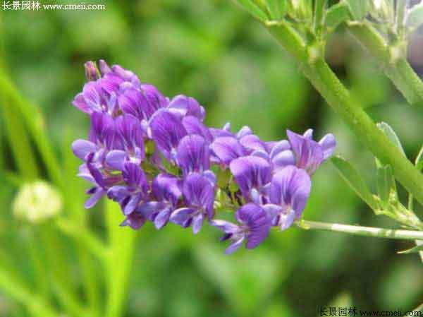 紫花苜蓿种子图片