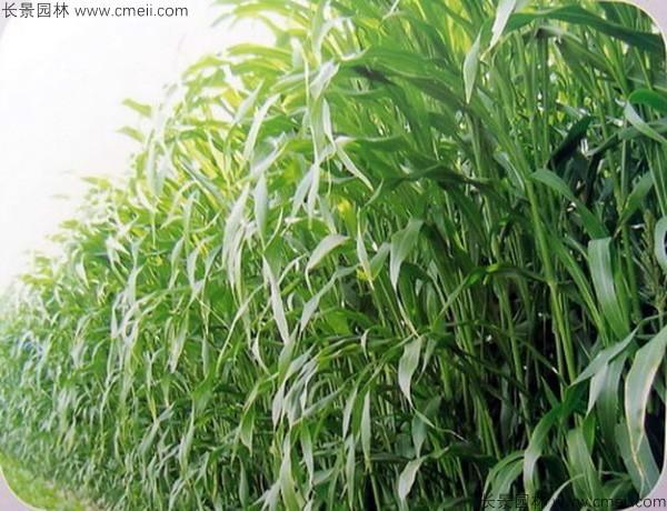 高丹草种子图片