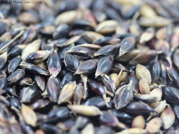 苏丹草种子图片