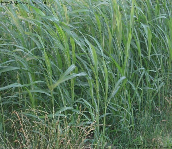 苏丹草种子发芽出苗图片