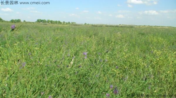 沙打旺种子发芽出苗图片