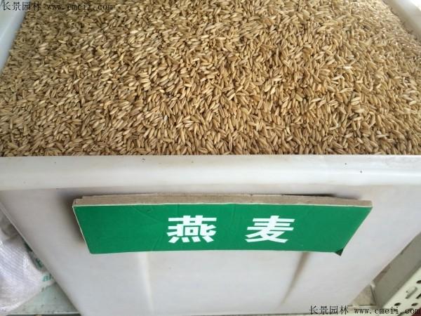 燕麦种子图片