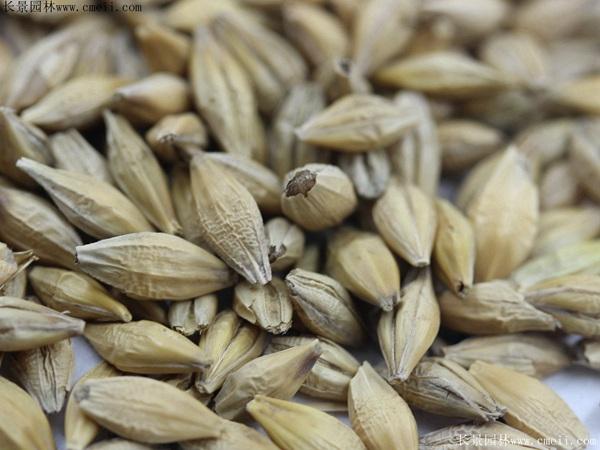 大麦种子图片