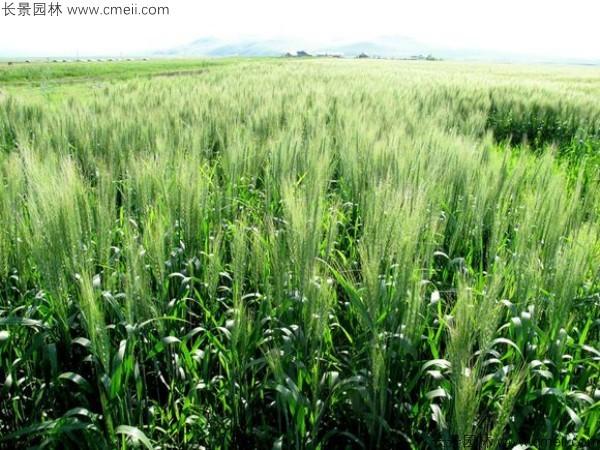 大麦种子发芽出苗图片