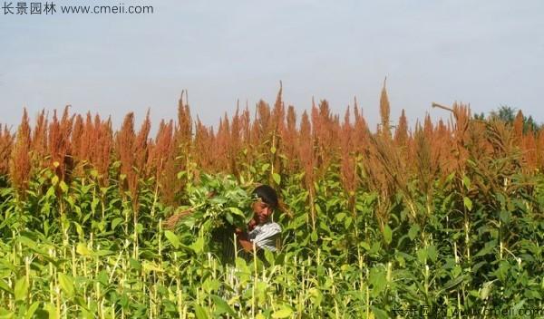 籽粒苋种子基地采收图片