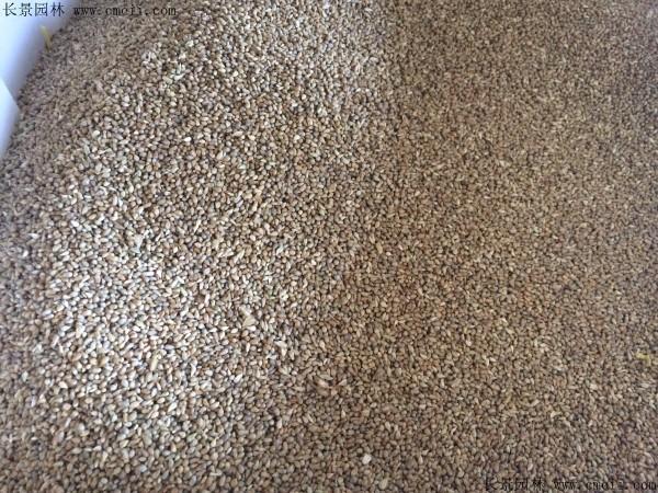 提木西草种子图片