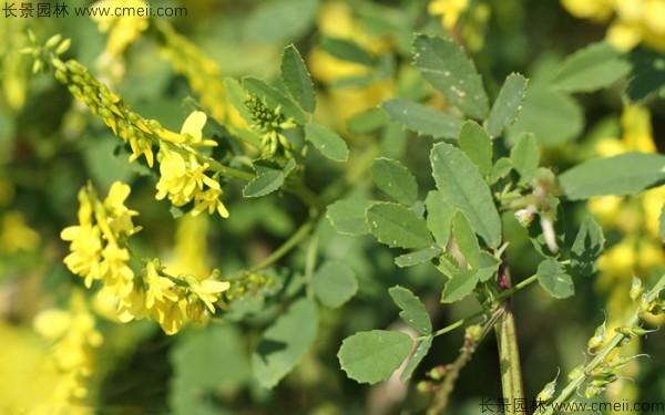 草木犀种子发芽出苗图片