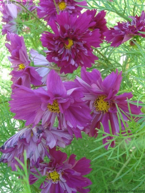 波斯菊种子发芽出苗开花图片