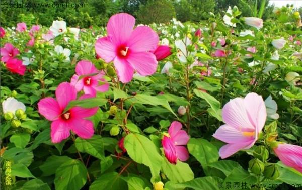 大花秋葵种子发芽出苗开花图片