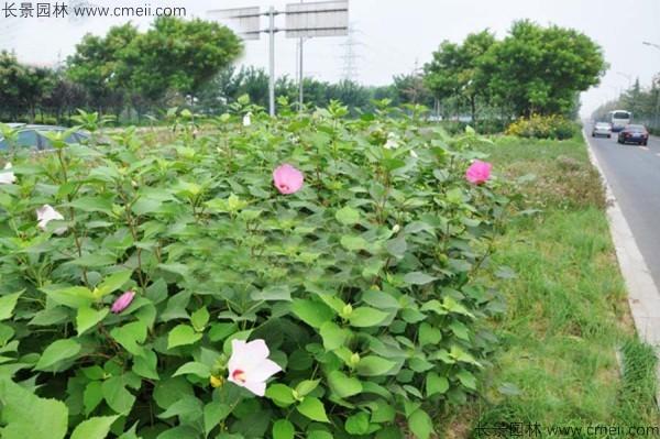 广西适合种植大花秋葵吗