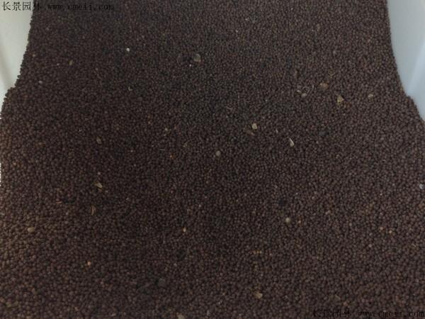 大花秋葵种子图片