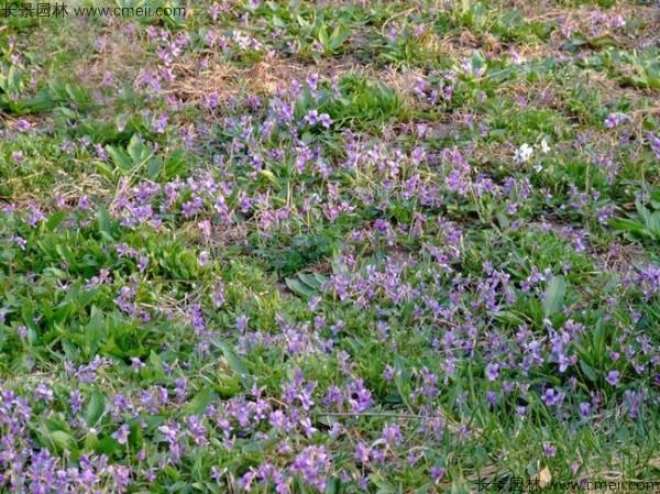紫花地丁种子发芽出苗开花图片