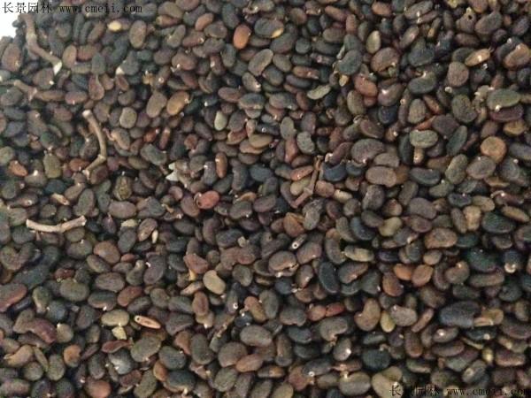 刺槐种子图片
