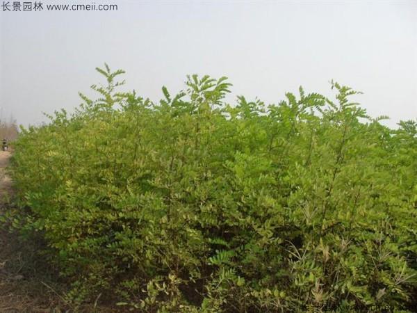 刺槐种子发芽出苗图片