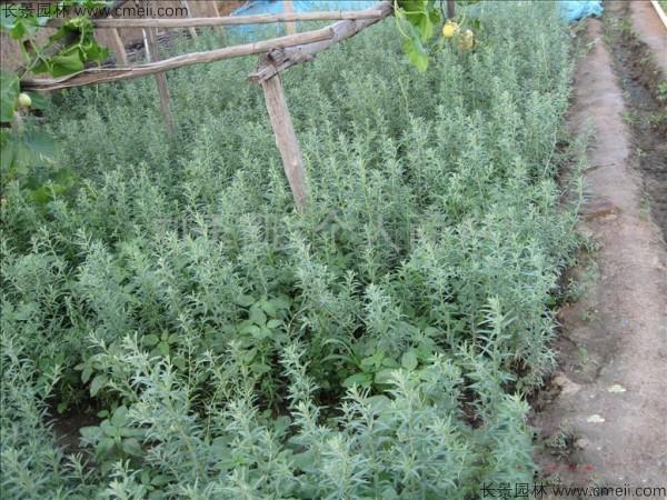 沙枣种子发芽出苗图片