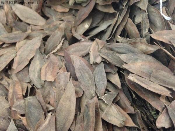 杜仲种子图片