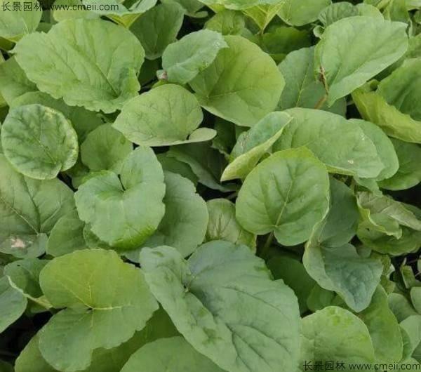 大黄种子发芽出苗图片