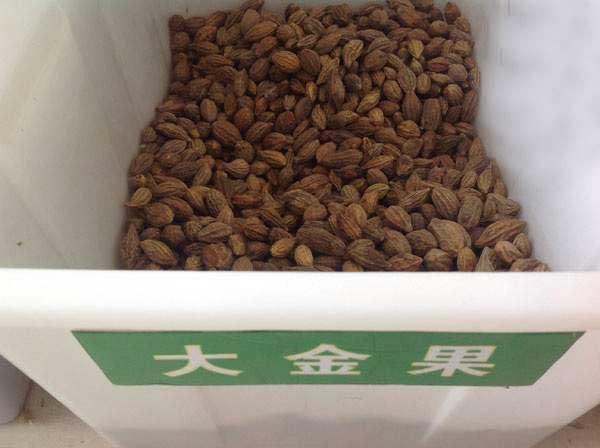 大金果种子柯子图片