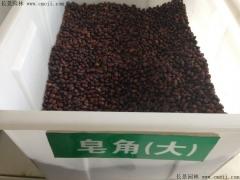 大皂角种子