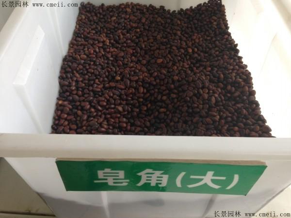 大皂角种子图片