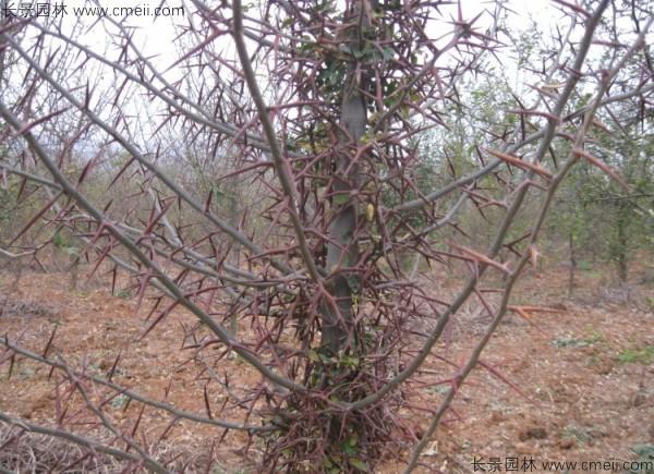 大皂角种子发芽出苗图片