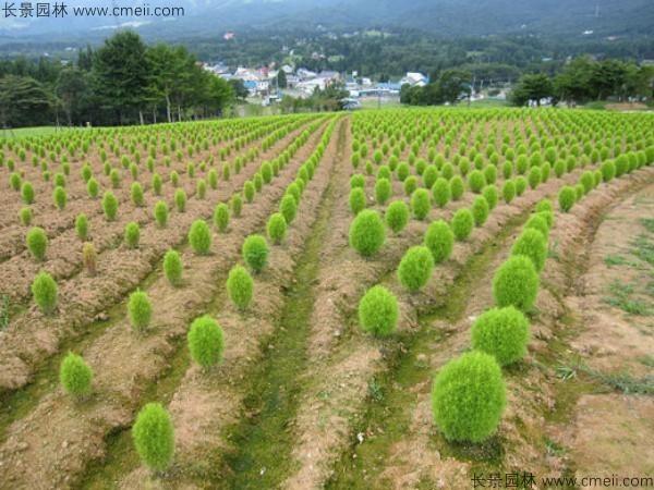 地肤种子发芽出苗图片