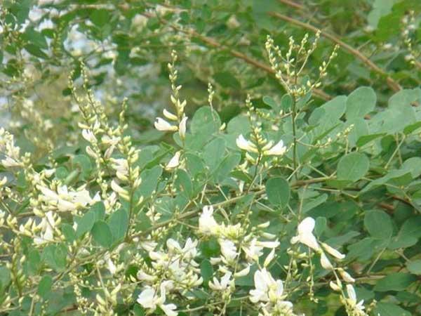 多花木兰种子发芽出苗图片