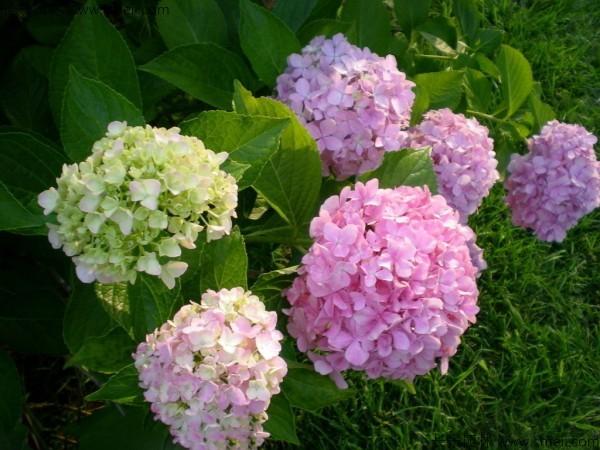 绣球花种子发芽出苗开花图片