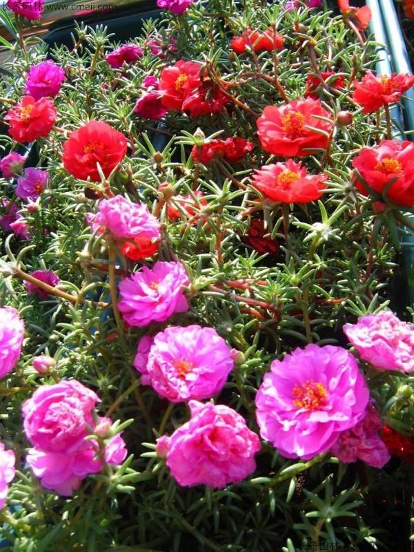 太阳花种子发芽出苗开花图片