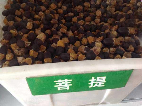 菩提树种子图片