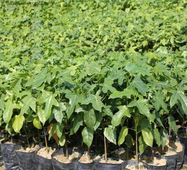 菩提树种子发芽出苗图片