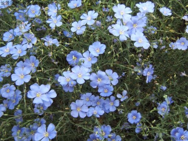 蓝花亚麻种子发芽出苗图片