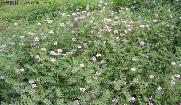 小冠花种子发芽出苗开花图片