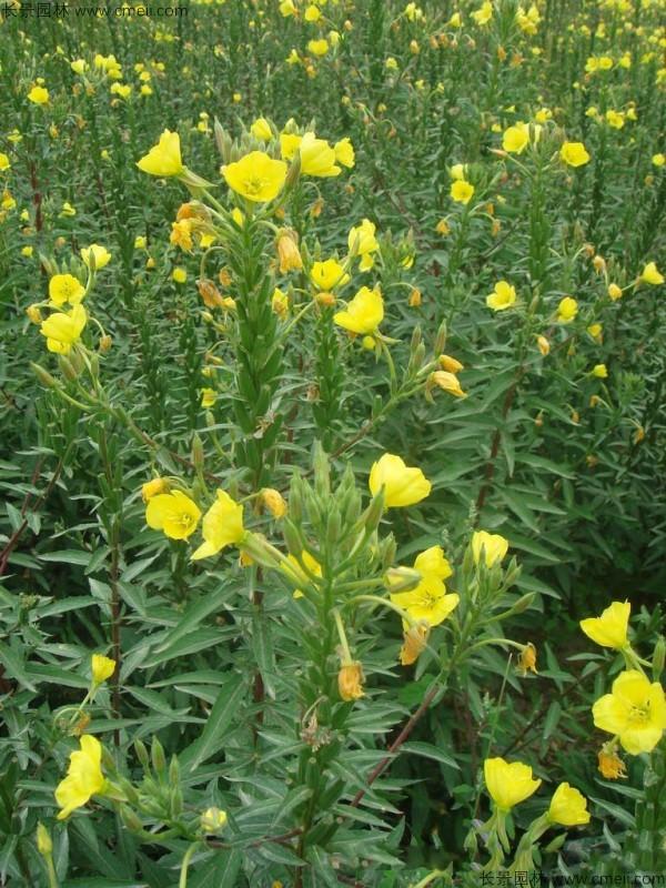 夜来香种子发芽出苗开花图片