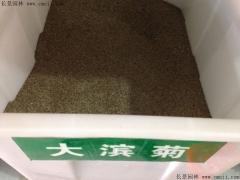 大滨菊种子