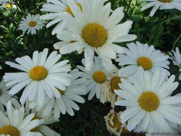 大滨菊种子发芽出苗开花图片