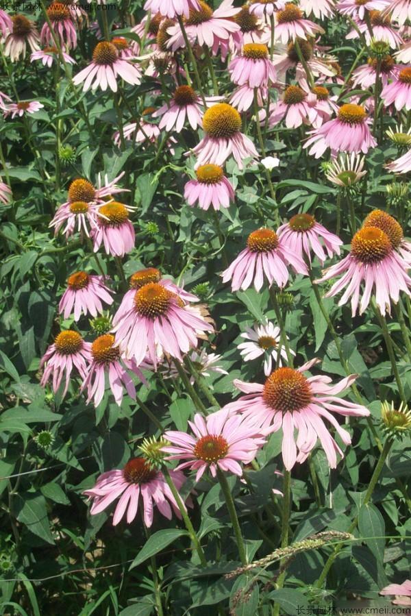 松果菊种子图片