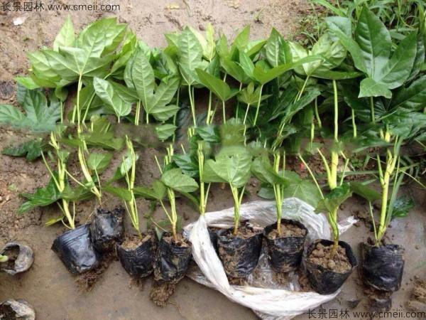 八角金盘种子发芽出苗图片