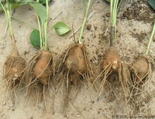 白术种子发芽出苗图片