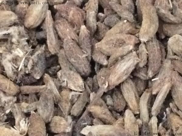 白术种子图片