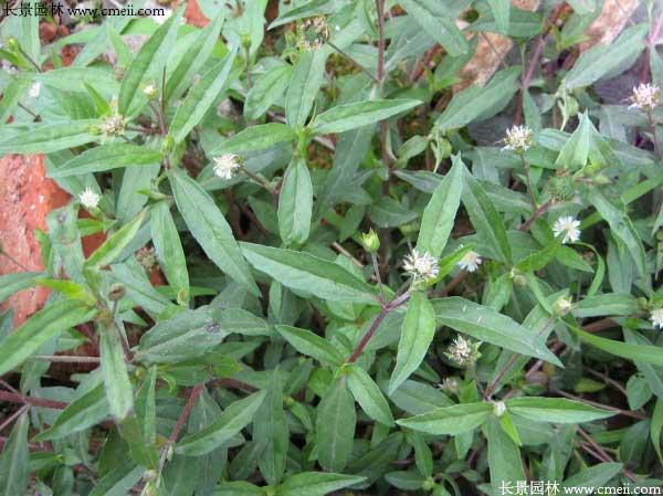蛇舌草种子怎么种植最适合