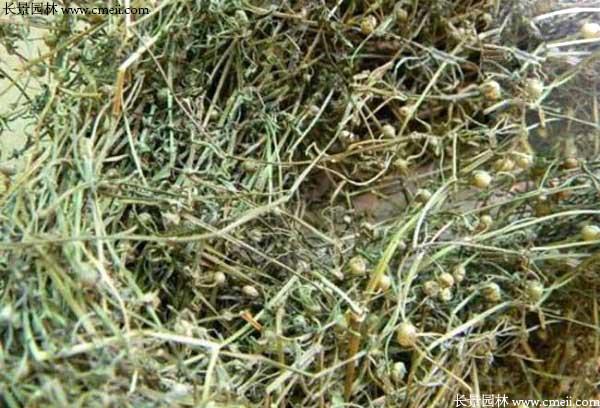 蛇舌草树结种子吗