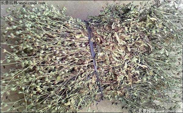 3月可以播种蛇舌草种子吗
