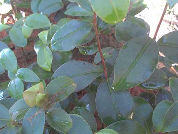 茶花种子发芽出苗开花图片