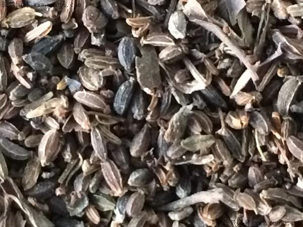 柴胡种子图片