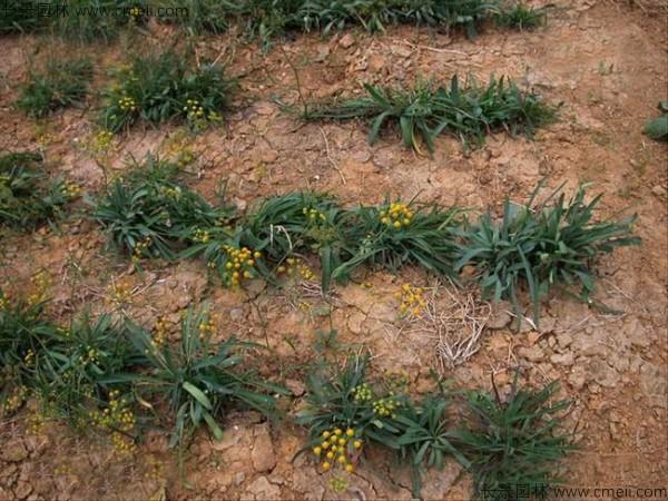 柴胡种子发芽出苗开花图片