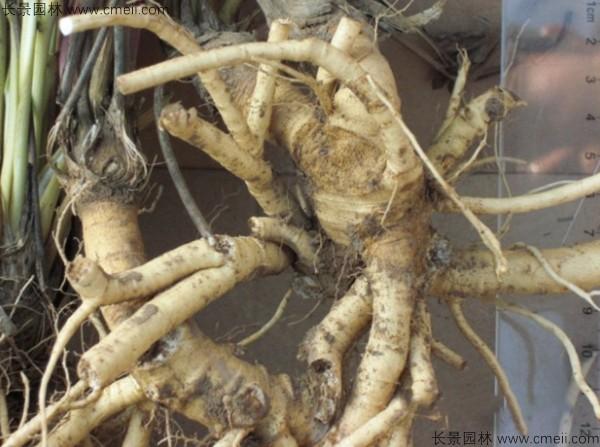 防风种子图片